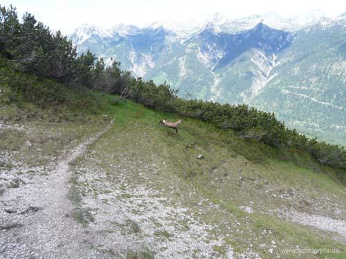 aufgeschreckte Gams vor einem weiteren zu durchquerenden Latschenstreifen